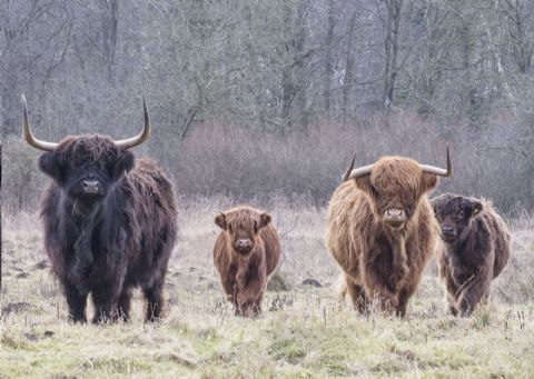 The Herd Highland Cow Greetings Card